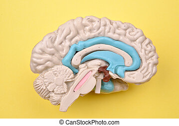 3D human brain model details from inside on yellow background