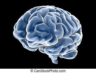 brain - 3d human brain