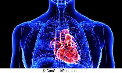 3d, illustratie, menselijk lichaam, hart