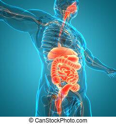 Human Digestive System Anatomy - 3D Illustration Concept of ...
