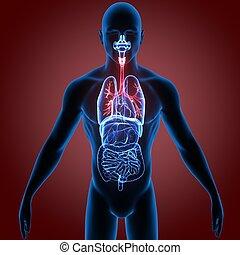 3d illustration human body respiratory system.human body...