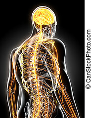3D illustration male nervous system.