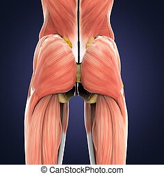 3D illustration of Gluteus Maximus Part of Muscle Anatomy. -...