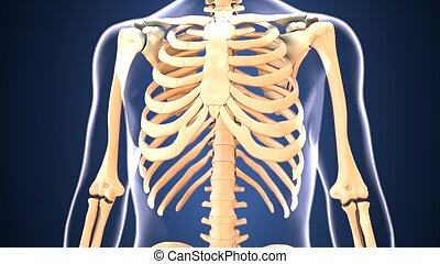 3d illustration of human body skeleton anatomy - The human...