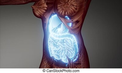 human digestive system parts and functions - 3d illustration...