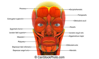 Human Face Muscles Anatomy