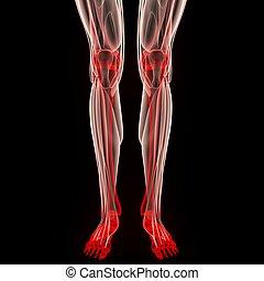 Human Leg Joints Muscles Anatomy