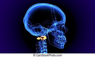 3d illustration of human skeleton bone anatomy - The human...