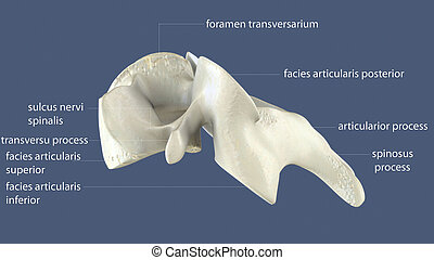 3d illustration of human skeleton spinal bone anatomy - The...