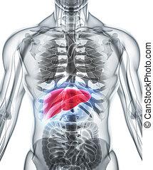 3D illustration of Liver.