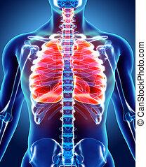 3D illustration of Lungs, medical concept. - 3D illustration...