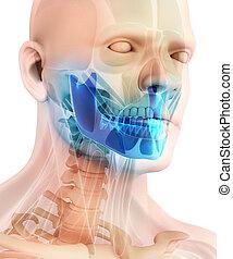3D illustration of Mandible, medical concept. - 3D...