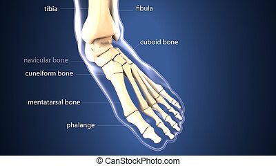 3d illustration of skeleton foot bone anatomy