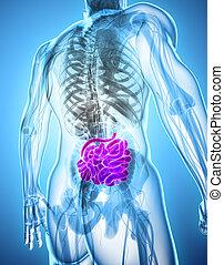3D illustration of Small Intestine.