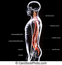 3D illustration of Spine - Part of Human Organic. - The...