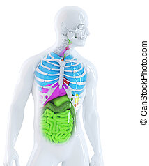 3d illustration of the human anatomy. Isolated. Contains clipping path