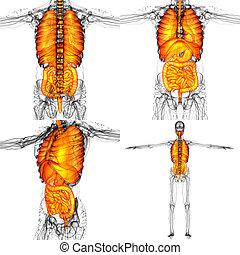 3d, interpretación, ilustración, de, el, sistema digestivo humano, y, sistema respiratorio