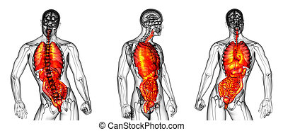 3d, interpretación, ilustración médica, de, el, sistema digestivo humano, y, sistema respiratorio