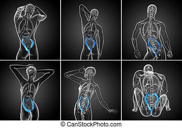 3d, interpretación, sistema digestivo humano, intestino grueso