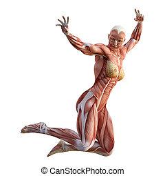 3d, interpretazione, muscolo, mappe