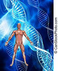 3D male figure with muscle map on medical DNA background -...