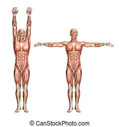 3D male medical figure showing shoulder abduction and adduction