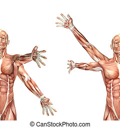 3D male medical figure showing shoulder circumduction