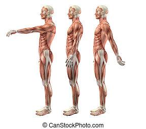 3D male medical figure showing shoulder flexion, extension...