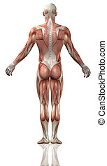 3D male medical figure with muscle map - 3D render of the...