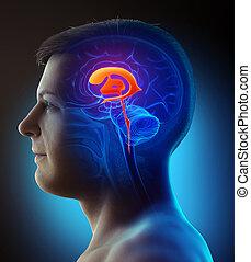3d, mann, übertragung, koerperbau, abbildung, gehirn, ventrikel, medizin