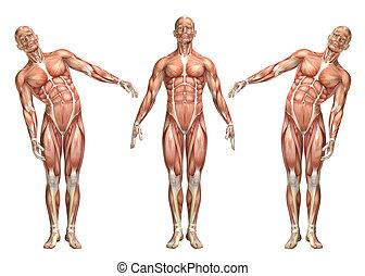 3D medical figure showing trunk lateral bending - 3D render...