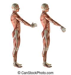 3D medical figure showing wrist radial deviation and ulnar...
