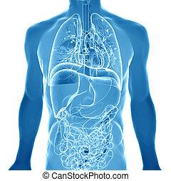 3d  medical illustration of the human anatomy