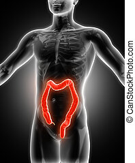 3D medical image showing colon