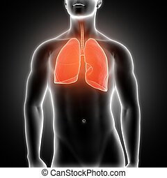 3D medical male figure with lungs highlighted