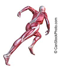 3d muscle model