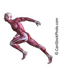 3d muscle model - 3d rendered anatomy illustration of a male...
