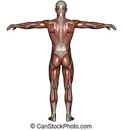 3D muscle of man - 3D rendered muscle of man on white ...