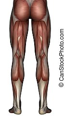 3D muscle of man - 3D rendered muscle of man on white...