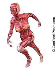 3d, muscolo, modello
