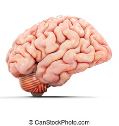 3d realistic detailed brain on white background