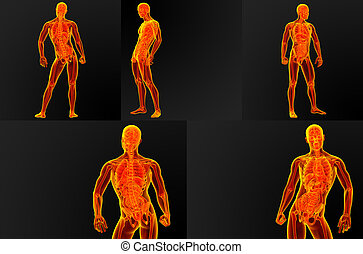 3d render illustration of the male anatomy