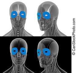 3D render illustration of the orbicularis oculi