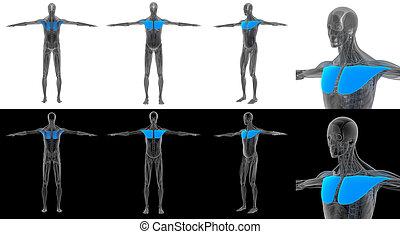 3D render illustration of the pectoralis major