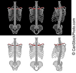 3D render medical accurate illustration of the clavicle