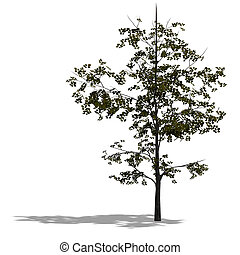 3D Render of a young broadleef tree with shadow and clipping...
