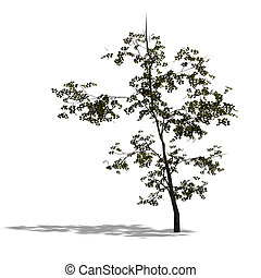 3D Render of a young broadleef tree