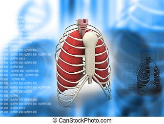 3d render of human rib