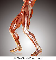 3d render of male legs muscle anatomy
