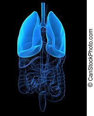 highlighted lung - 3d rendered anantomy illustration of ...